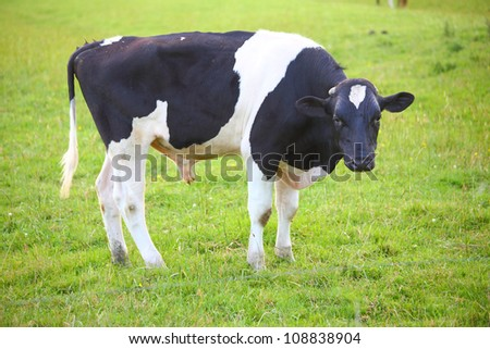 Cow in green meadow