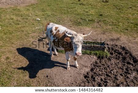 cow in serbia, bull in serbia #1484316482