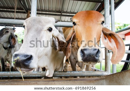 Cow in the cowshed, livestock #691869256