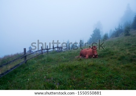 Cow in the meadow in the early morning among the grass in sparkling dew and fog. Alpine meadows.  #1550550881