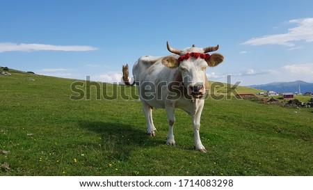 Cow in Upland Yayla Inek Stock fotó ©