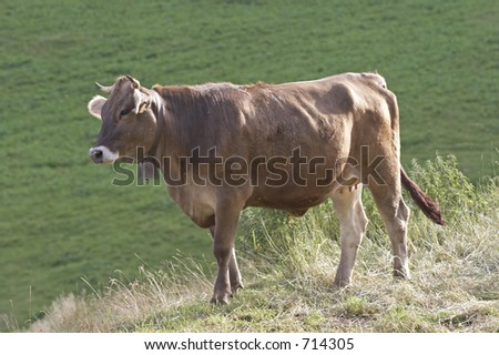 Cow in Val di Scalve, Alps mountains, Italy