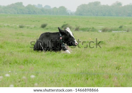 Cow is ruminating in the meadow #1466898866