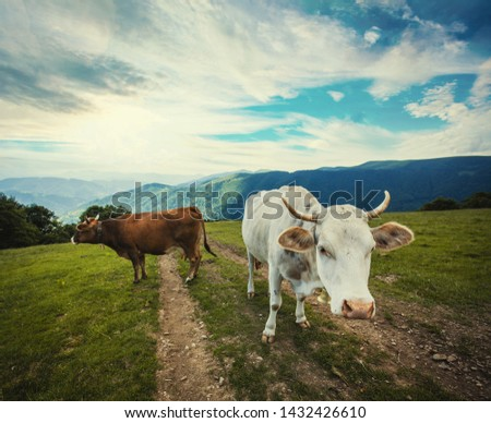 cow is singing in the mountain meadows. Alpine meadows #1432426610