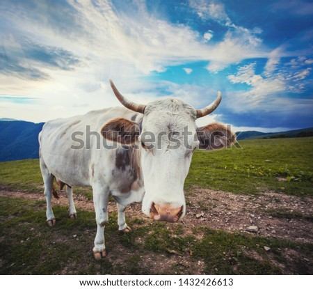 cow is singing in the mountain meadows. Alpine meadows #1432426613