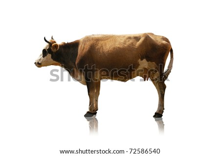 Cow isolated at the green field