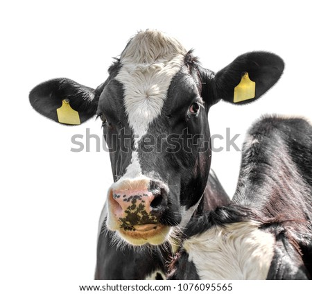 cow isolated on a white background #1076095565