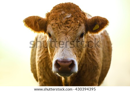 Cow isolated on a white background #430394395