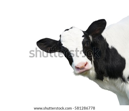 cow isolated on a white background #581286778