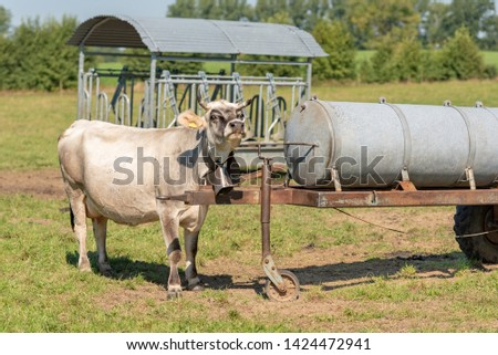 cow isstanding in a pasture and looking #1424472941