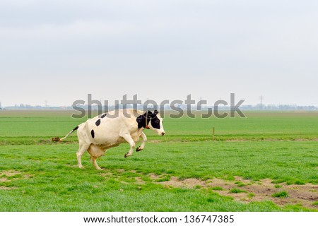 cow jumps in green meadow