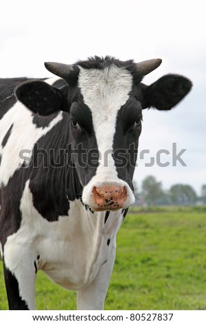Cow looking in the lens