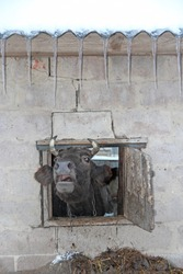 cow looking out and screaming out of cattle-shed window. Cow screaming from farm window. cow looking out from window of shed on brick wall. head of cow peeking out of open window on farm.