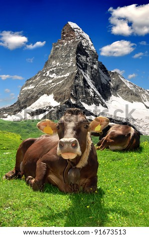 Cow lying in the meadow.In the background of the Matterhorn-Swiss Alps