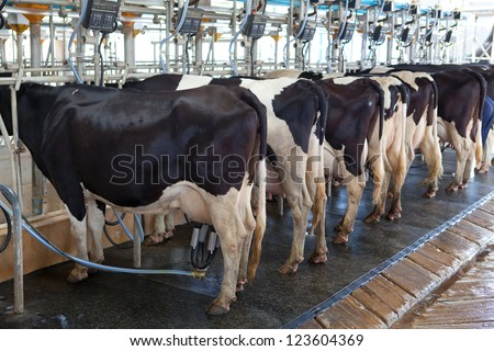Cow milking facility and mechanized milking equipment in the milking hall