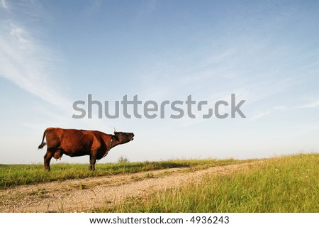 cow mooing in a green field by the country road, Latvia, Europe