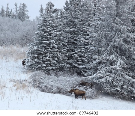 Cow moose at the edge of a spruce forest in Alaska with a bull moose in the bushes behind her and a yearling calf close by.