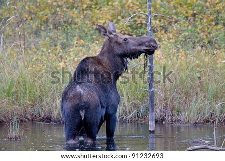 Cow Moose in Boggy Swamp Manitoba Canada