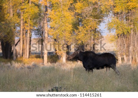 Cow Moose in Grand Teton National Park - stock photo