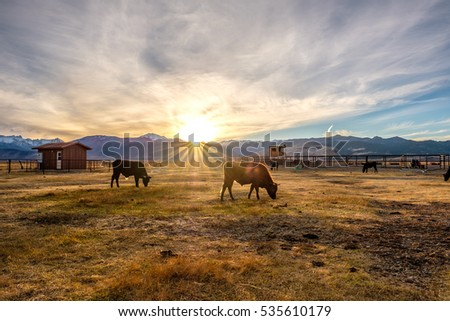 Cow on a field at sunset, California, USA