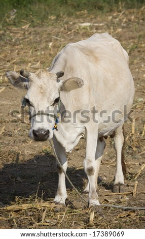 Cow on a field close up