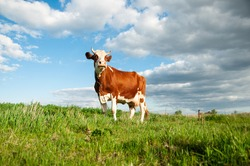 Cow on a green meadow with blue clouds. Pasture for cattle. Cow in the countryside outdoors. Cows graze on a green summer meadow in Ukraine. Rural landscapes with cows on summer pasture