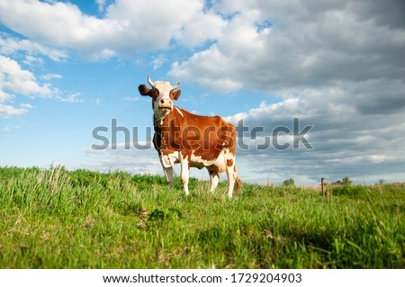 Cow on a green meadow with blue clouds. Pasture for cattle. Cow in the countryside outdoors. Cows graze on a green summer meadow in Ukraine. Rural landscapes with cows on summer pasture Stockfoto ©