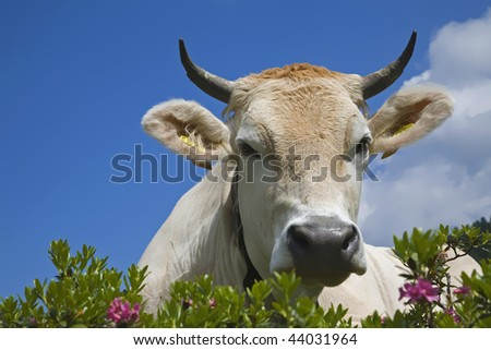 Cow on a meadow - stock photo