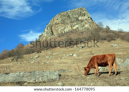 Cow on a mountain pasture, Russia