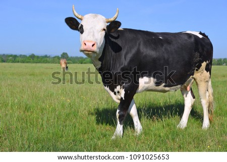 Cow on a summer pasture #1091025653