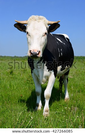 Cow on a summer pasture #427266085