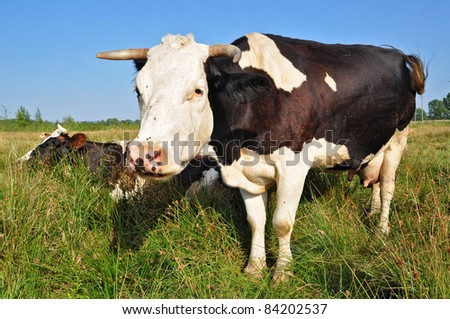 Cow on a summer pasture #84202537