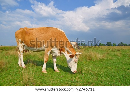 Cow on a summer pasture. A cow on a summer pasture in a summer rural landscape