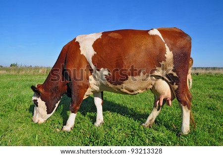 Cow on a summer pasture. A cow on a summer pasture in a summer rural landscape - stock photo