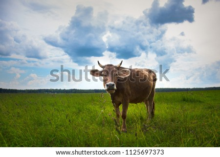 Cow on a summer pasture. Close up portrait brown dairy cow in farm field summer. Russia. Moscow.