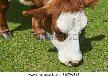 Cow on a summer pasture eating green grass