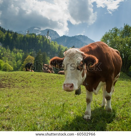 Cow on a sunny day in Neuschwanstein, Bavaria, Germany