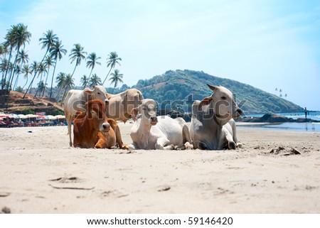 Cow on Beautiful Tropical beach ,Goa, India