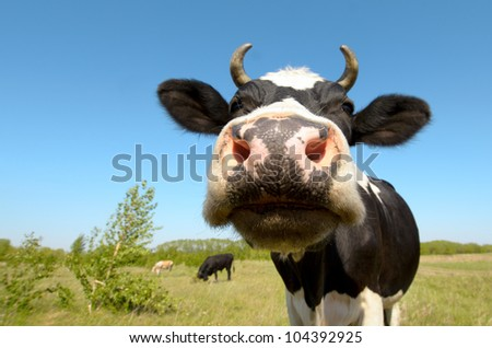 cow on grassland,  put  muzzle close-up on camera, sun summer day
