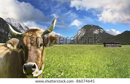Cow on grazing land chews daisies