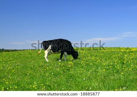 cow on green dandelion field