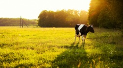Cow on green grass and evening sky with light