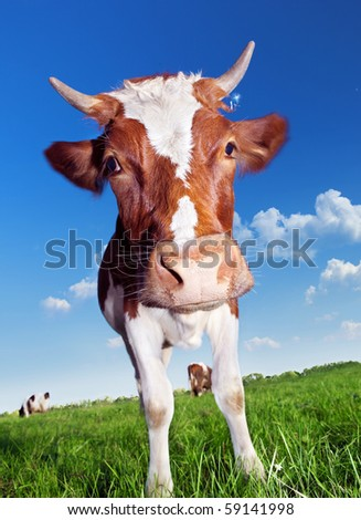 Cow on green meadow. - stock photo