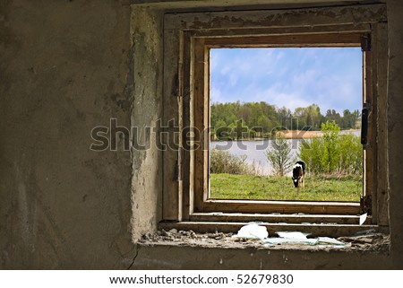 Cow on meadow near the river. View through broken window on an old house