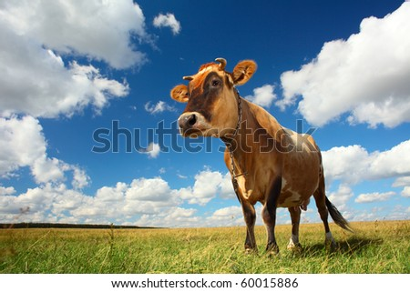 Cow on meadow under blue sky with clouds