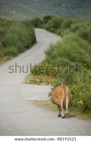 cow on road - stock photo