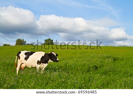 cow on spring meadow