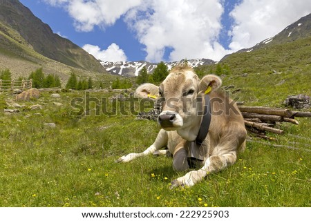 Cow on the European Alps. A cow is sitting at an alpine meadow in the European Alps. Was seen in the Schnalstal Valley, South Tyrol.
