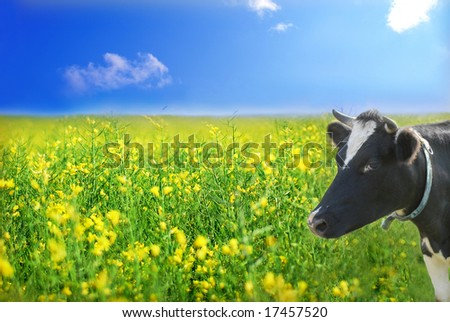 Cow on the meadow, rapeseed field as background