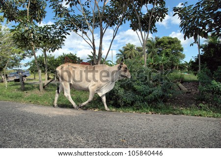 cow on the street in David, Panama / Street Walker